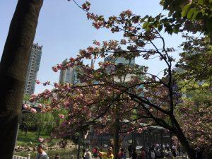 八重桜?的なお花も見頃。空も青く、綺麗だなぁ