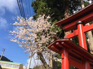 その貴船神社の鳥居とソメイヨシノ。このころにはすっかりいい天気